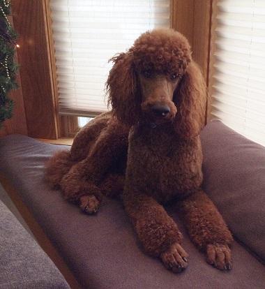 Raspberry Woods Standard Poodles